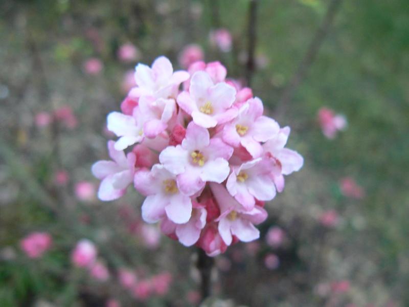 ça commence a fleurir...(Mimosa, Acacia dealbata) P1030642