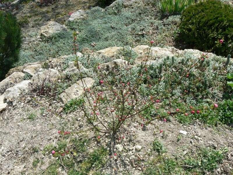 Prunus P1030722