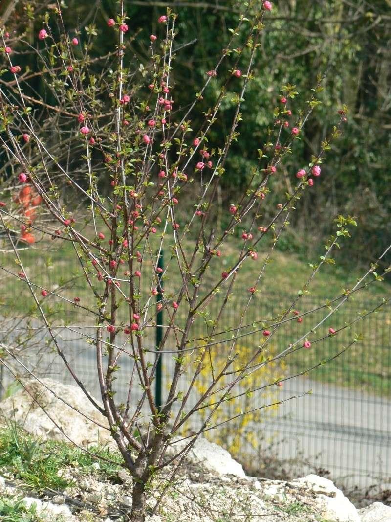 Prunus P1030723