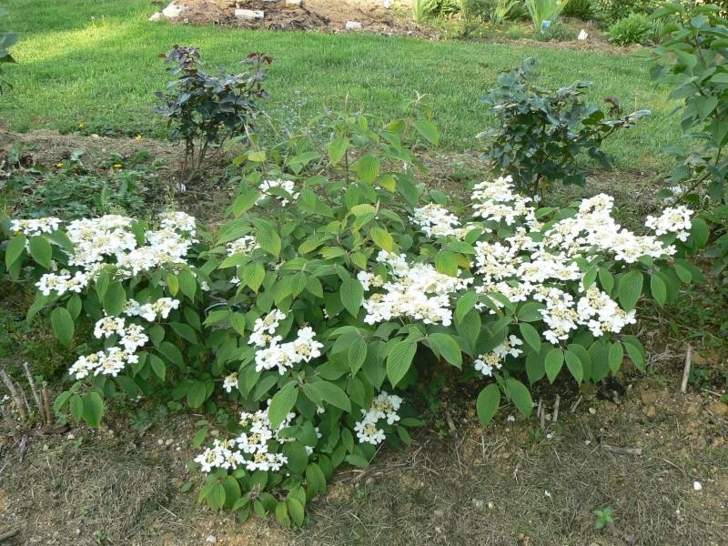 Viburnum, un arbuste formidable ! - Page 3 P1030824