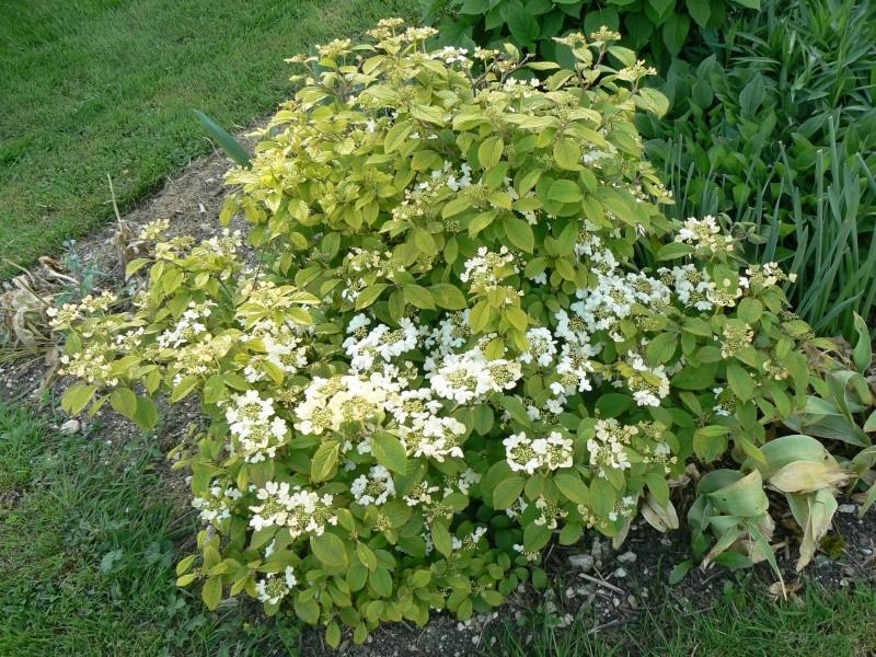 Viburnum, un arbuste formidable ! - Page 3 P1030828