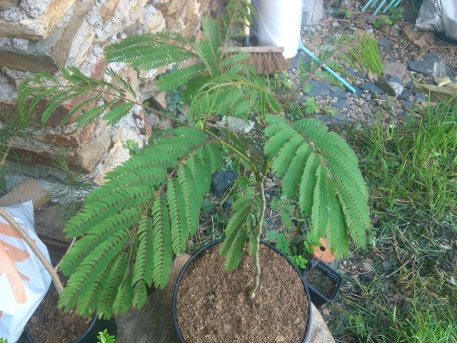 Une plante sensitive mais laquelle ? Dsc_0425