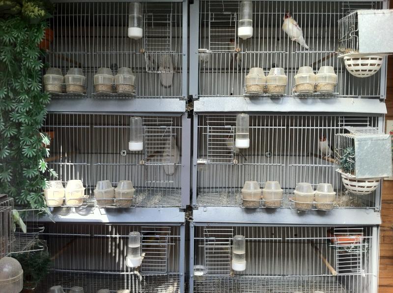 concours du mois février  2012(la pièce d'élevage ) Insata10