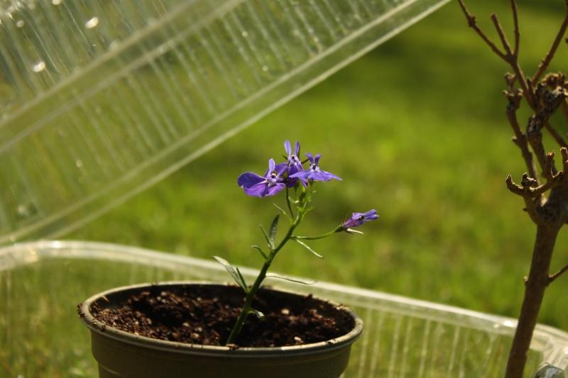 Plante trouvée à Bruges : Lobelia erinus Img_0715