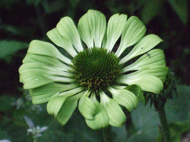 Hydrangea Paniculata Levana Jardin12