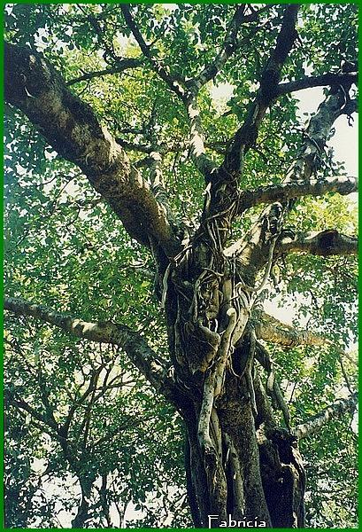 Photos de jardins, parcs, forêts... dans le monde - Page 3 Banyan10