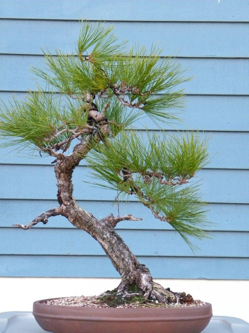 Japanese Red Pine 2009_114