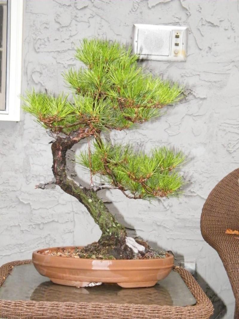 Japanese Red Pine Dscf0921