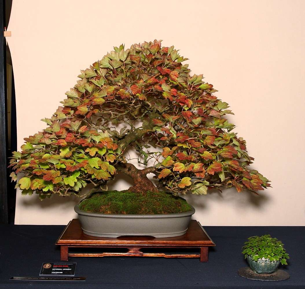 BRISTOL BONSAI SOCIETY'S SHOW,  AUGUST 2011 - a photo report Guelde10