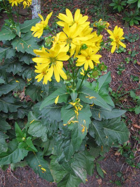 Une colle posée par un ami [Silphium perfoliatum] Abrest10