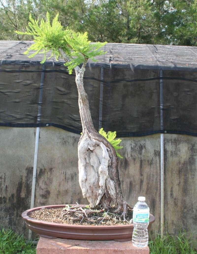 bald cypress Img_7312
