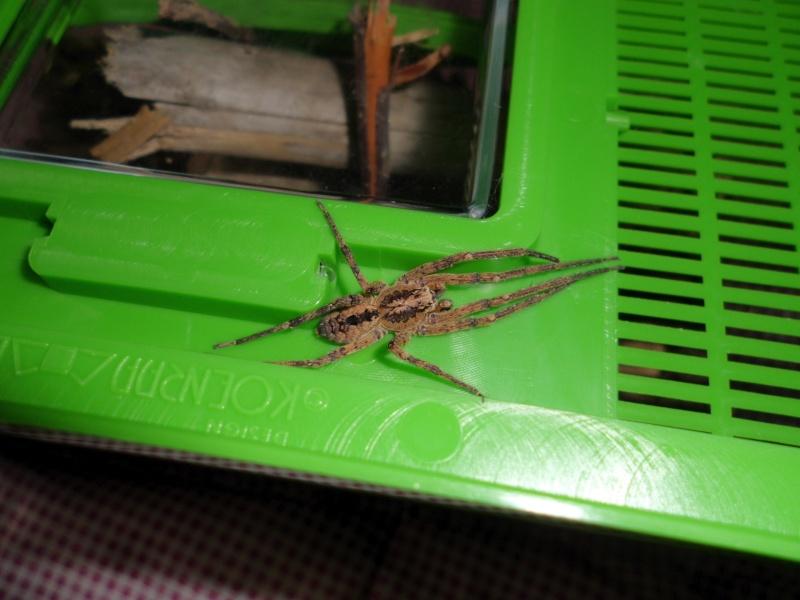 Zoropsis spinimana ... mâle ou femelle + indentification Cimg0310