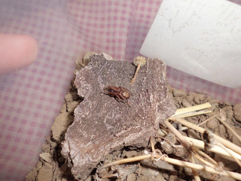 Zoropsis spinimana ... mâle ou femelle + indentification Cimg0311