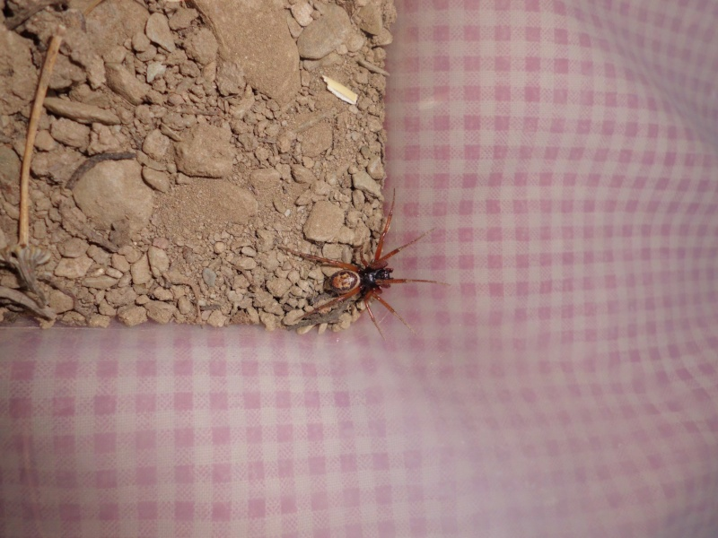 Zoropsis spinimana ... mâle ou femelle + indentification Cimg0312