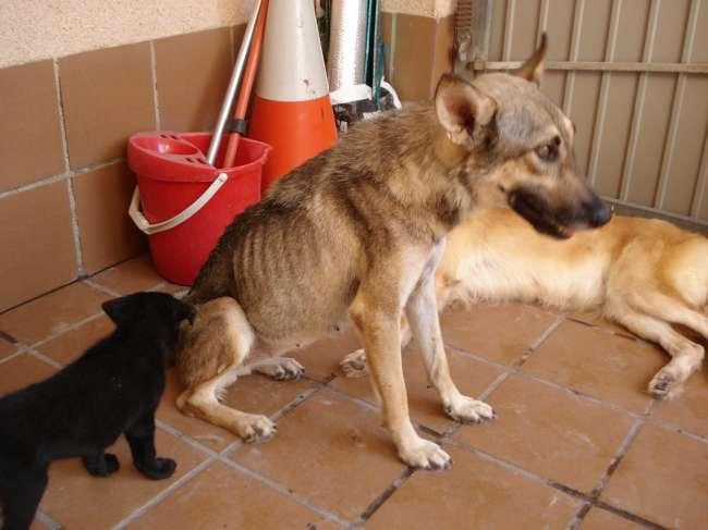 MIKA, fourriere de la honte en espagne... TRES URGENT.... Dsc04924