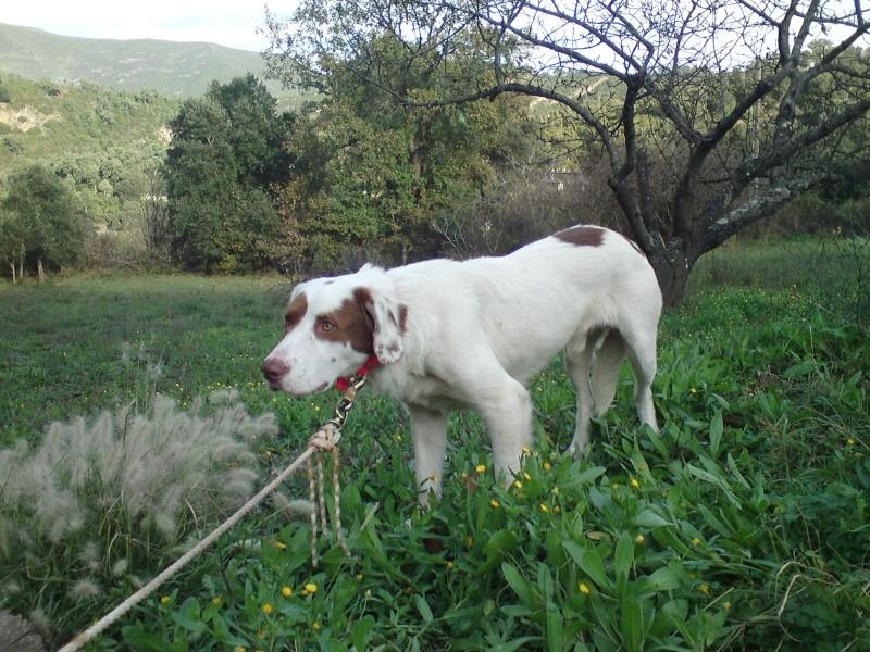 GULLIVER Labrador X Setter en FA corse 313
