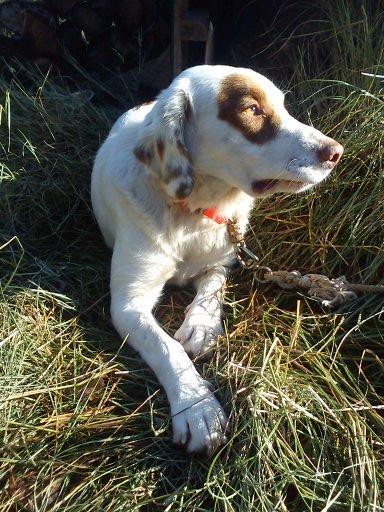 GULLIVER Labrador X Setter en FA corse 411