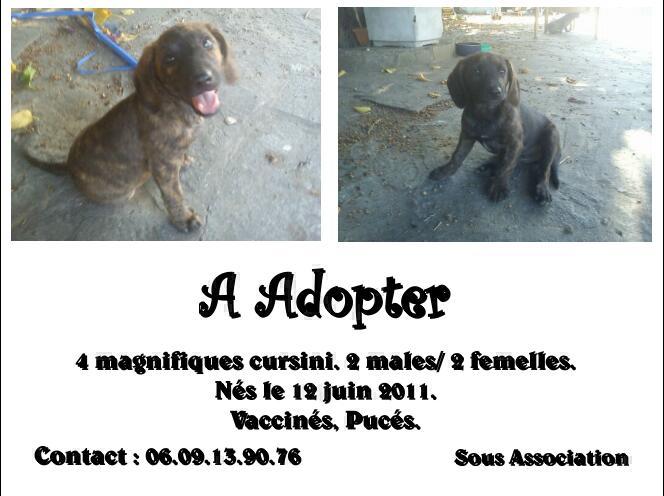 4 chiots cursini a adopter. Affich10