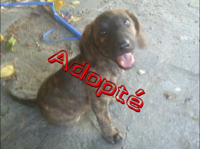 4 chiots cursini a adopter. Galia_10