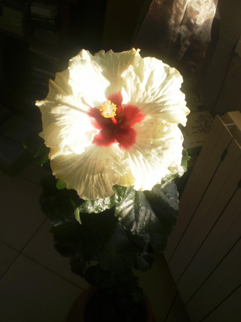 Un bouquet d'hibiscus P4120214