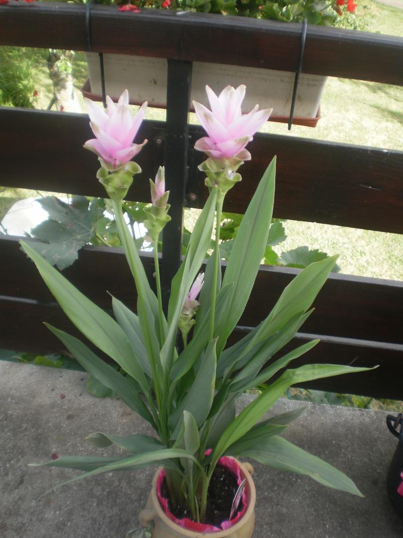 tulipe de thailande P7300113
