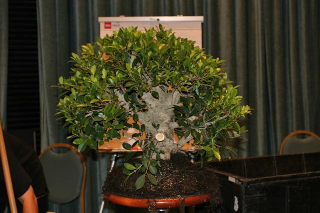 Ficus kinmen progression  Chengf10