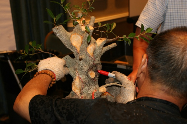 Ficus kinmen progression  Chengf13
