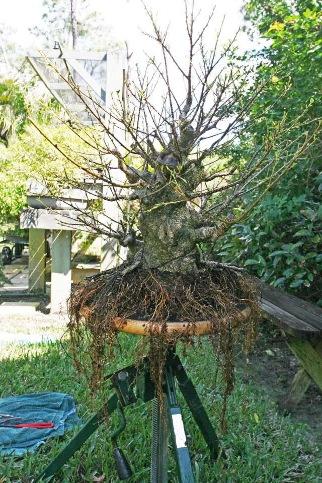 Ficus kinmen progression  Chengf17