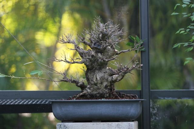 Ficus kinmen progression  Ficus410