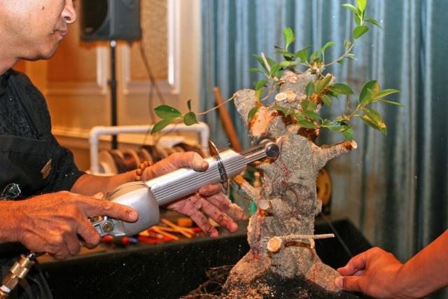 Ficus kinmen progression  Ficusk10