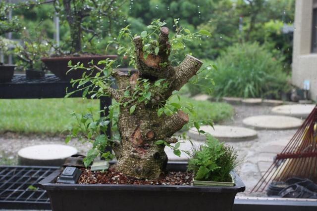 Ficus kinmen progression  Ficusk11