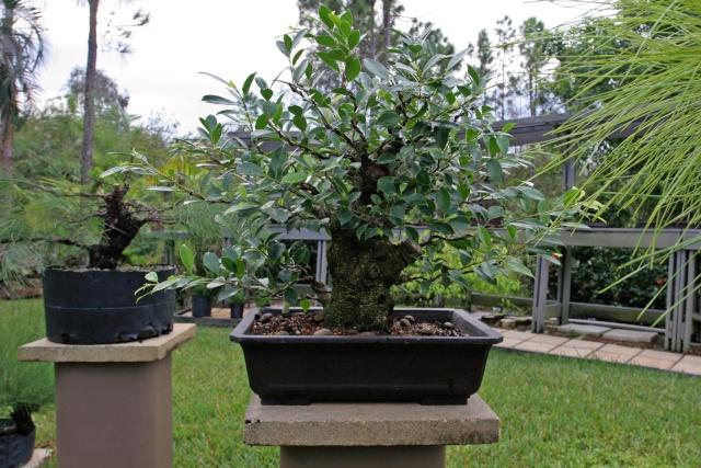 Ficus kinmen progression  Ficusk12
