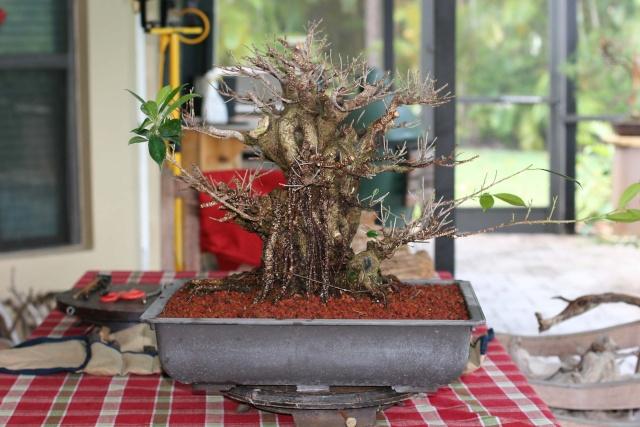 Ficus kinmen progression  Ficusk13