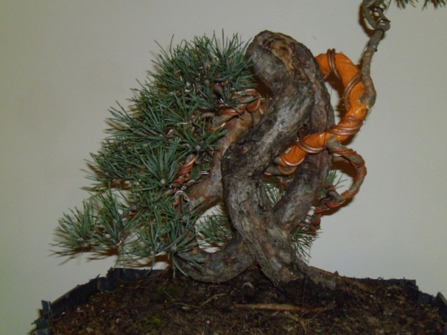 Knot pine style - Page 2 Law_tr10
