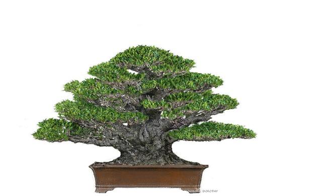 Ficus kinmen progression  Plan10