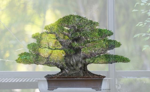 Ficus kinmen progression  Planov10