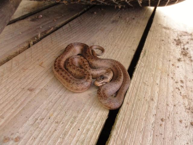 Un de mes locataire dans mon jardin Reptil13