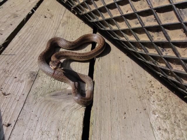 Un de mes locataire dans mon jardin Reptil14
