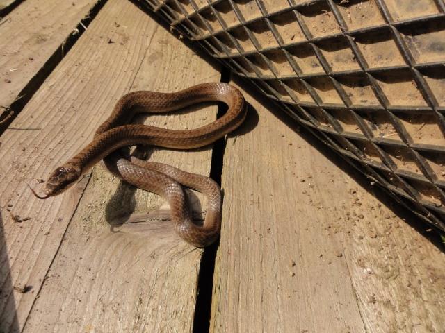 Un de mes locataire dans mon jardin Reptil15
