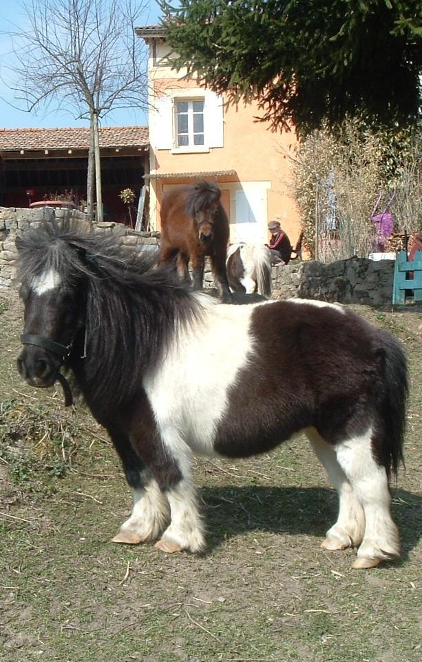 urgent vends poneys shetland 11110