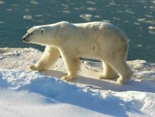 zoologie attaque d'ours mortelle Norvège archipel du Svalbard océan Arctique août 2011 forum agression animale ursus maritimus