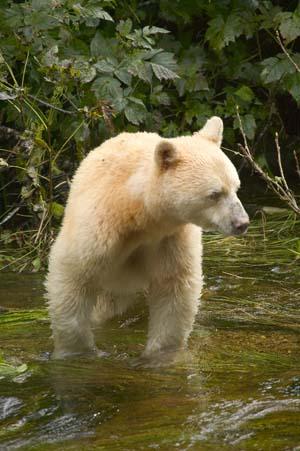 zoologie ours kermode découverte esprit colombie britannique espèce menacée danger ursidé plantigrade Ursus americanus kermodei forum canada ours noir