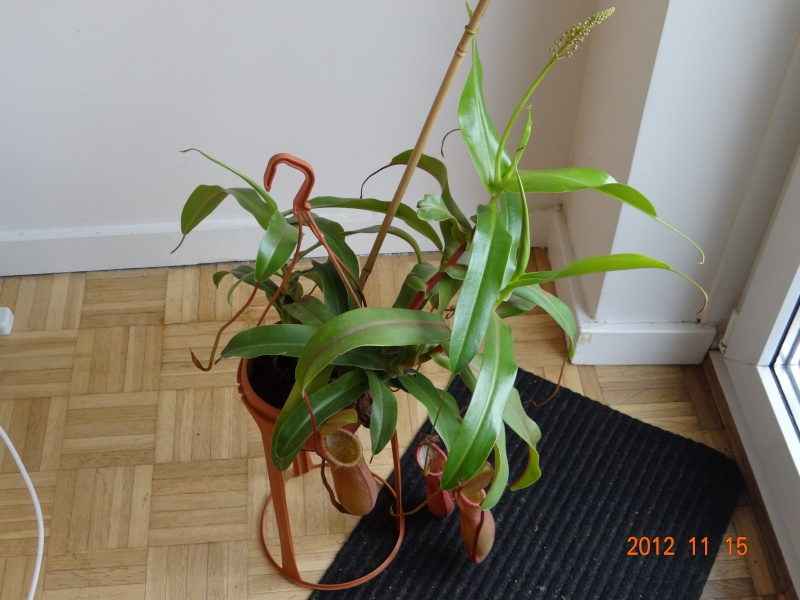 Nepenthes Linda + fleurs 00113