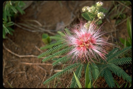[demande d'identification] Mimosa ssp??? 60666_10