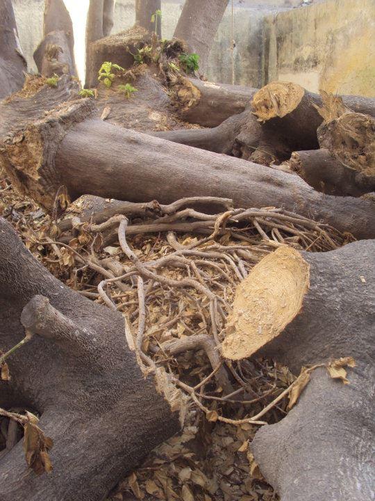 L'arbre centenaire et sacré de notre ville 30691410