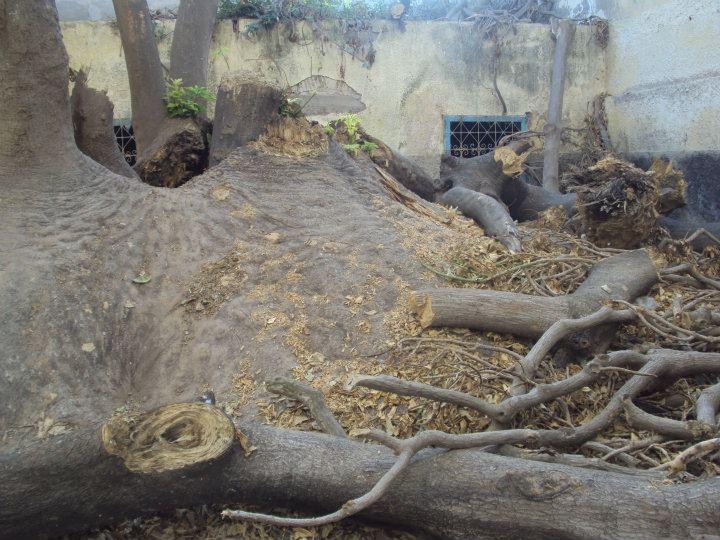 L'arbre centenaire et sacré de notre ville 31627210