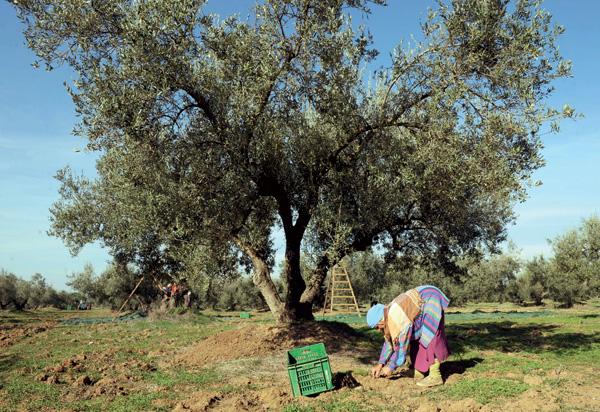 Huile d'olive:quelle place pour le Maroc? Huile-13