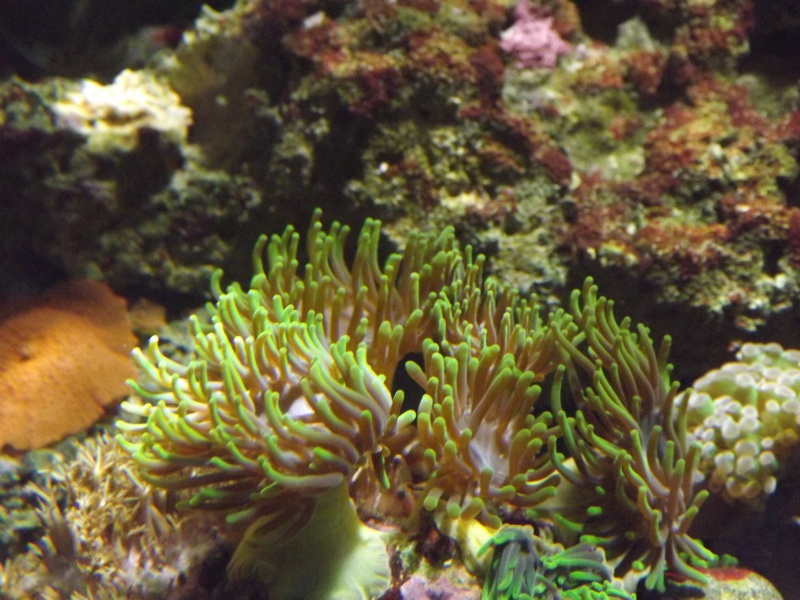 quel est le nom de ce corail ? Dscf7011