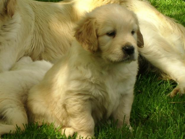 Psi i psići (kinologija, pasmine pasa, obuka pasa, dresura pasa, lovački psi, kućni psi, hranidba pasa, slike pasa, Vaša najdraža pasmina pasa, izložbe pasa, šetanje pasa, kupanje pasa, perilica za pse, hrana za pse) - Page 8 43449110