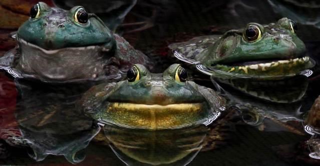 Žabe Reuter10